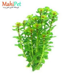 گیاه آکواریومی رتلا بن سای (شاخهای)