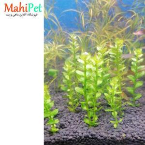 گیاه آکواریومی رتلا بن سای (شاخهای) (2)