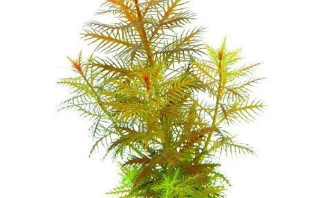 گیاه آکواریومی پالوتریس کوبا (شاخهای)