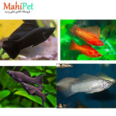 ماهی مولی مختلط سایز (XL)
