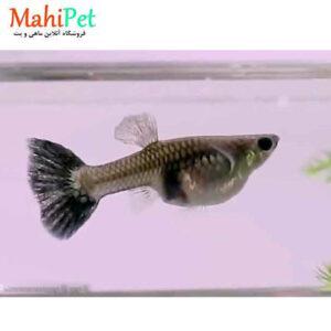 ماهی گوپی بیگ ایر مولد 3 تا 5 Cm (جفت)