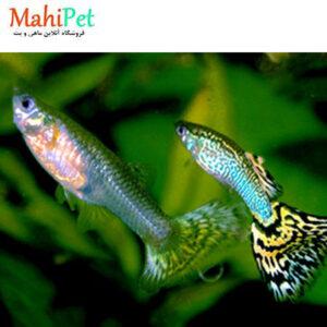 ماهی گوپی سنگاپوری مولد (جفت)