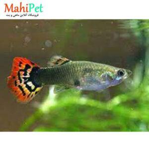 پک ماهی گوپی ایرانی (10 عددی)